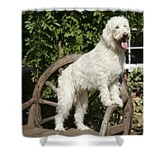 Cream Labradoodle On Wooden Chair Shower Curtain