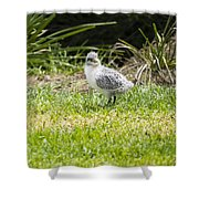 Crested Tern Chick - Montague Island - Australia Shower Curtain