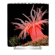Crimson Anemone Cribrinopsis Fernaldi Shower Curtain