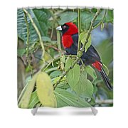 Crimson-collared Tanager Shower Curtain