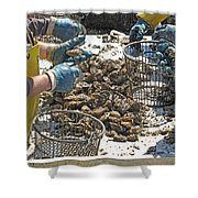 Culling Oysters Shower Curtain
