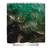 Cunner Fish Nova Scotia Shower Curtain