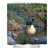 Curious Canadian Goose Shower Curtain