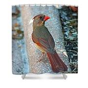 Curious Cardinal Shower Curtain
