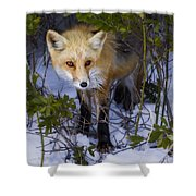 Curious Red Fox Shower Curtain