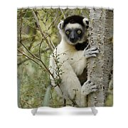 Curious Sifaka 1 Shower Curtain