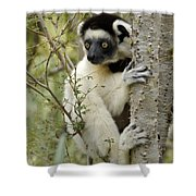 Curious Sifaka 2 Shower Curtain