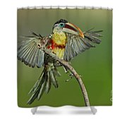 Curl-crested Aracari About To Perch Shower Curtain