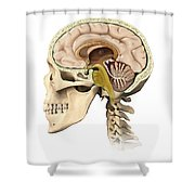 Cutaway View Of Human Skull Showing Shower Curtain