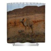 Cute Young Camel Desert Sinai Egypt Shower Curtain