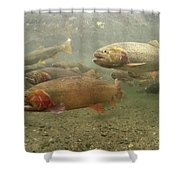 Cutthroat Trout In The Spring Idaho Shower Curtain by Michael Quinton