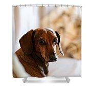 Dachshund Portrait Shower Curtain