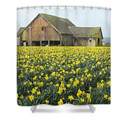 Daffodils And Barn Shower Curtain