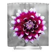 Dahlia Flower 2 Shower Curtain