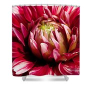 Dahlia Named Friquolet Shower Curtain