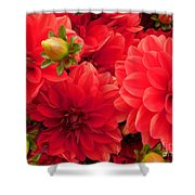 Red Dahlias  Shower Curtain