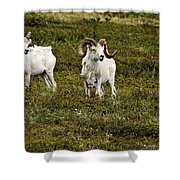 Dall Rams On Alert Shower Curtain