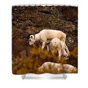 Dall Sheep Grazing Shower Curtain
