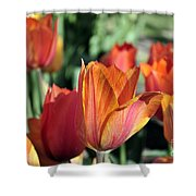 Darby's Tulip 5161 Shower Curtain
