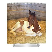 Day Old Colt Shower Curtain