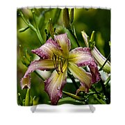 Daylily Picture 494 Shower Curtain