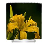Daylily Picture 539 Shower Curtain