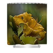 Daylily Picture 558 Shower Curtain