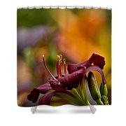 Daylily Pictures 571 Shower Curtain