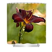 Daylily Pictures 576 Shower Curtain
