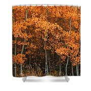 Deciduous Aspen Forest In Fall Shower Curtain