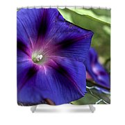 Deep Blue Morning Glories Shower Curtain
