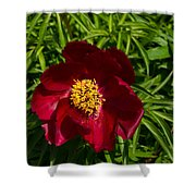 Deep Red Peony With Bright Yellow Stamens  Shower Curtain