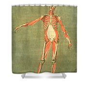 Deeper Muscular System Of The Front Shower Curtain