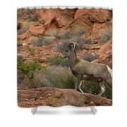 Desert Bighorn Sheep Shower Curtain