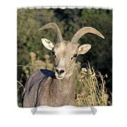 Desert Bighorn Sheep Zion National Park Shower Curtain
