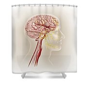 Detail Of Ateries Of The Human Head Shower Curtain