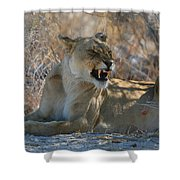 Disgruntled Lioness Shower Curtain