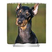 Doberman Pinscher Dog Shower Curtain