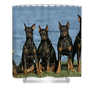 Doberman Pinschers Shower Curtain