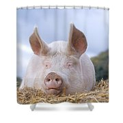 Domestic Pig Shower Curtain