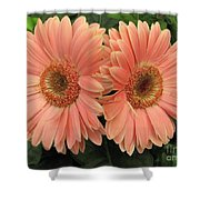 Double Delight - Coral Gerbera Daisies Shower Curtain