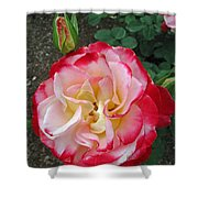 Double Delight Hybrid Tea Rose Shower Curtain