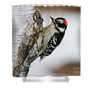 Downy Woodpecker Pictures 26 Shower Curtain