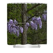 Draping Wisteria Frutescens Wildflower Vines Shower Curtain