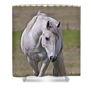 Lipizzane Dreaming Shower Curtain