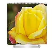 Dream's Come True Rose By Walter Herrit  Shower Curtain