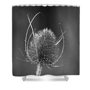 Dried Common Teasel Shower Curtain