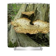 Dryads Saddle Bracket Fungi - Polyporus Squamosus Shower Curtain