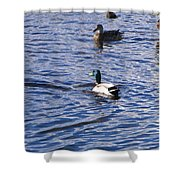 Ducks Swimming  Shower Curtain