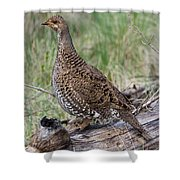 Dusky Grouse Dendragapus Obscurus Hen Shower Curtain